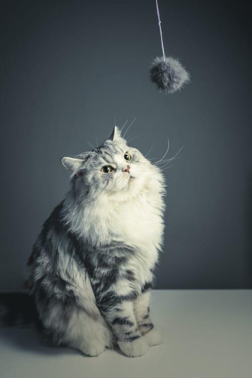 Incredulous cat eyeing toy